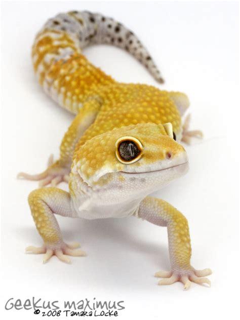 Leopard Gecko 2 leopard gecko 2 by geekusmaximus on deviantart animals