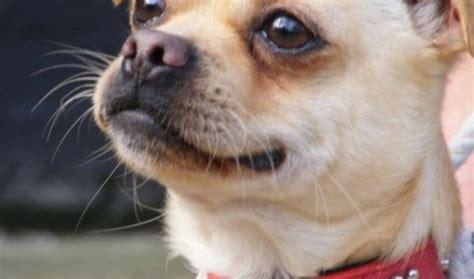 chihuahua cross pug zebidy 18 month chihuahua cross pug for adoption