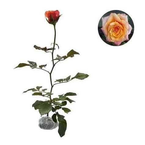 Jual Bibit Bunga Mawar Di Makassar jual tanaman mawar orange equador bibit