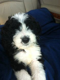 mini doodle tipoo pets i want on cairn terriers bernese