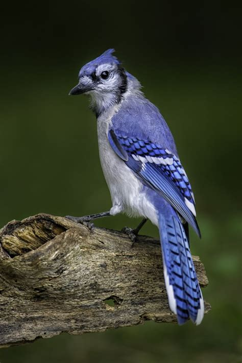 17 best ideas about blue jay on pinterest blue bird