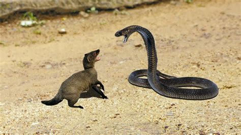 mongoose vs cobra snake king cobra vs mongoose big battle in the desert youtube