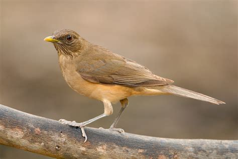 clay colored thrush clay colored thrush 3