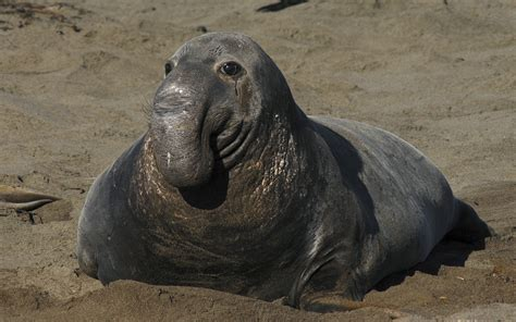 Elephant Seal Facts, History, Useful Information and ...