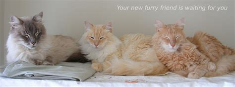 maine coon adoptions california based no kill cat rescue