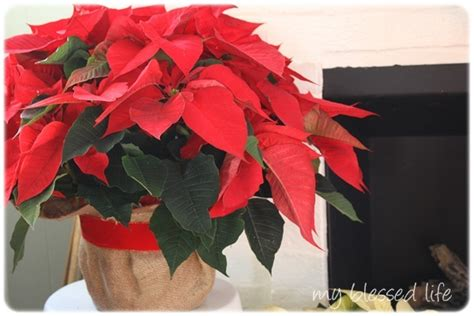 decorating with poinsettias decorating with poinsettias