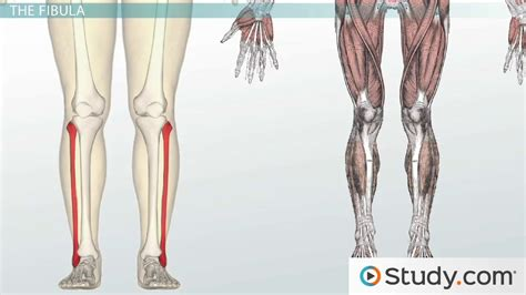 names and functions bones of the leg and foot names anatomy functions video lesson transcript study com