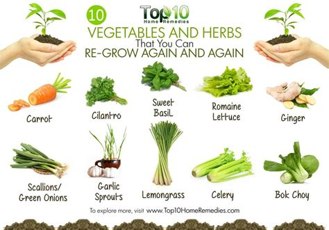 Vege Herbal 10 vegetables and herbs that you can regrow again and again from kitchen scraps top 10 home