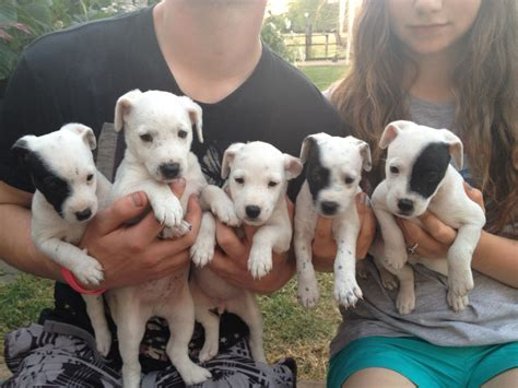 parson puppies for sale lovely parson puppies for sale ashbourne derbyshire pets4homes