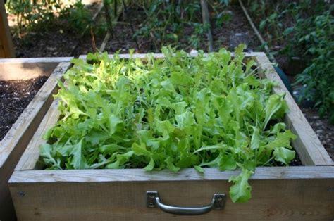 container garden lettuce container gardening vegetables walter reeves the