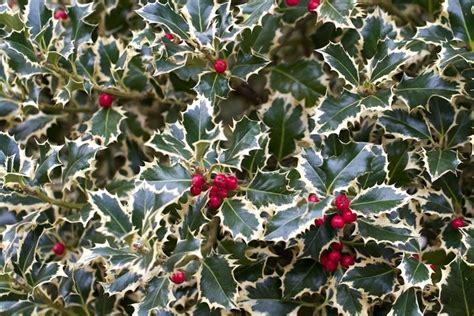 agrifoglio in vaso coltivare agrifoglio ilex aquifolium ilex aquifolium
