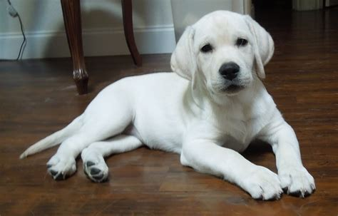 white lab puppies white lab puppies