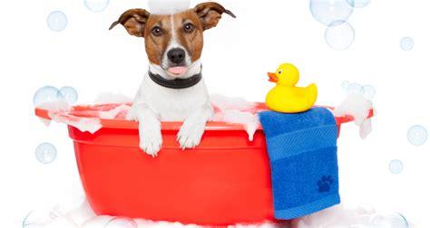 bagno ai cani il bagnetto deve essere fatto anche ai cani ma attenzione