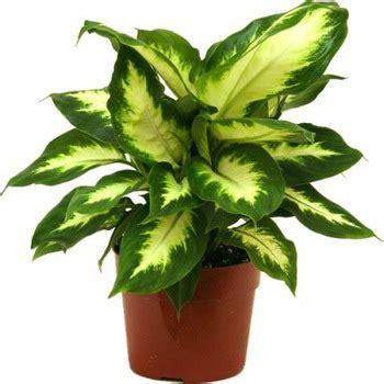 natural indoor plants buy ornamental plants product