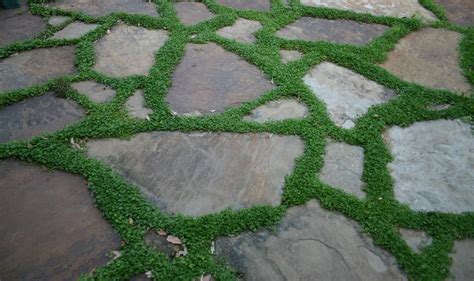 Patio Ground Cover ground cover between patio stones gardening and outdoor