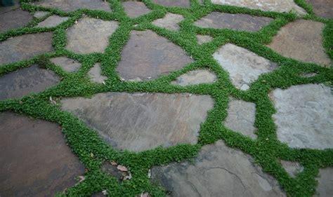 ground cover between patio stones gardening and outdoor