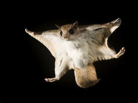 mammiferi volanti белка летяга