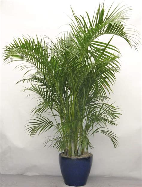 areca palm nasa use these plants to protect you from deadly airborne