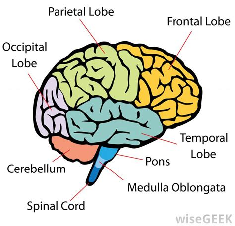 diagram of brain lobes what is a cerebellar artery with pictures