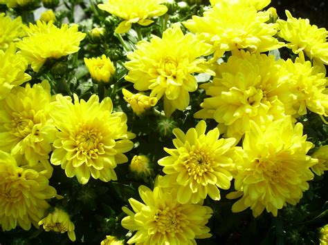 flower fall peridotsgardenblog fall flowers chrysanthemums and asters