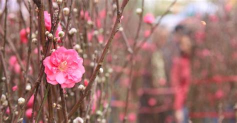 new year flower tradition new year flower markets jan 22 28 the loop hk
