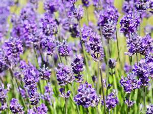 most fragrant lavender plant fragrant plants name that plant