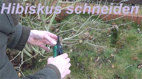 Hibiskus Schneiden Wann by Hibiskus Schneiden Gartenhibiskus Zur 252 Ckschneiden Wann Und