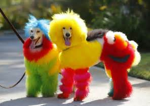 colored dogs rainbow poodles groomer catherine opson s colorful pets
