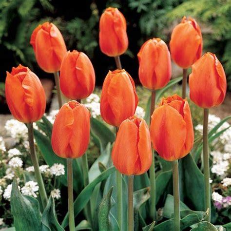 flower bulbs darwin hybrid tulip lighting sun
