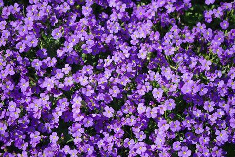 fiori viola immagini foto gratis cuscino fiori viola aubrieta