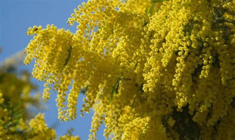 immagini mimosa fiore vivere i fiori la mimosa il fiore delle donne