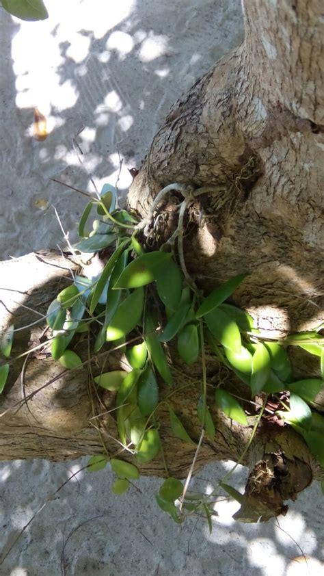 pakar tanaman hias hoya