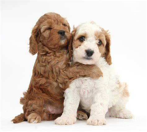 hugging puppies cavapoo puppies hugging photograph by
