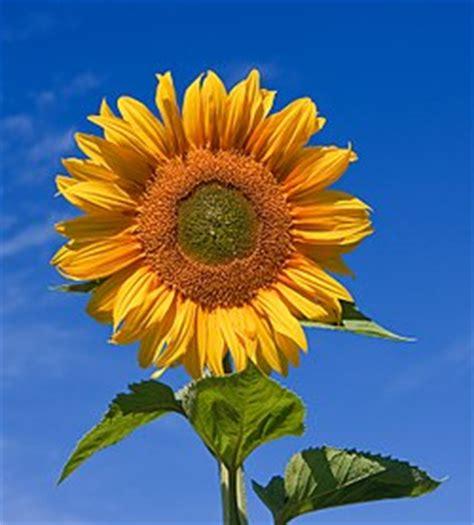 bunga matahari wikipedia bahasa indonesia ensiklopedia