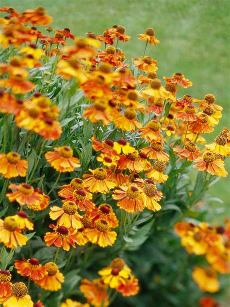 fall plants top fall flowers for your garden perennials plants and