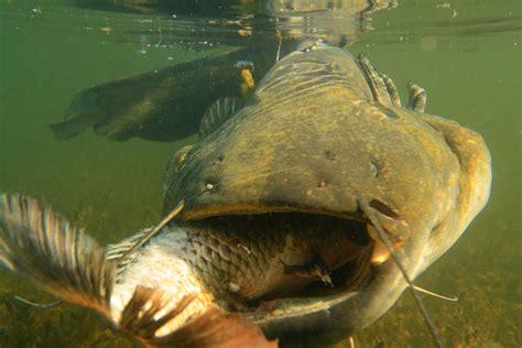 Search Catfish Catfish Vs Carp Fast And Furious By Catfishing World