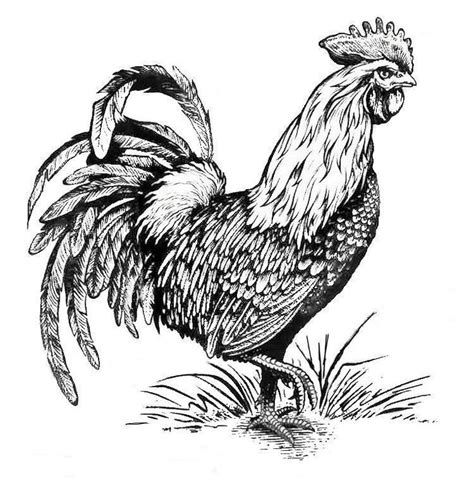 rooster coloring page 1036 best coloring pages images on