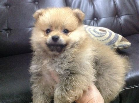 mini pomeranian puppy for sale pin mini pomeranian puppies for sale on