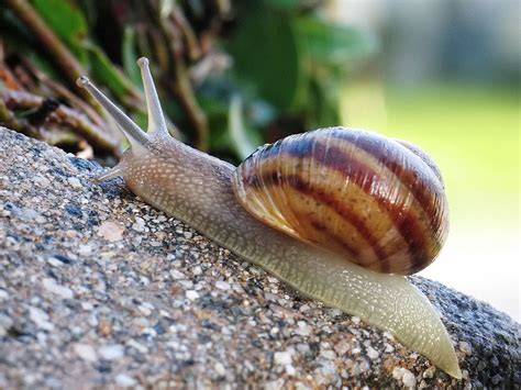 Snails In Garden by Helix Aspersa Brown Garden Snail Cornu Aspersum
