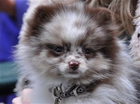 chocolate parti pomeranian pomeranian breed pictures 1