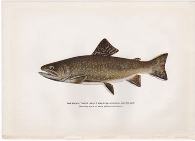 antique trout and fly fishing prints from trout fly