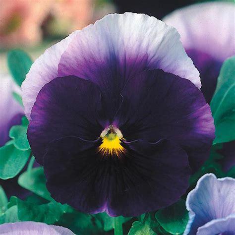 jual benih bunga pansy beaconsfield mr fothergills asli