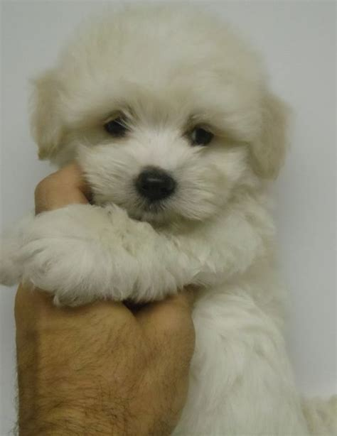 havanese puppies for sale new york puppies for sale havanese havanese f category in new york