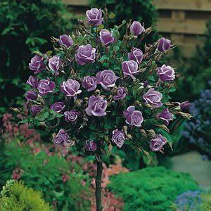 In Home Herb Garden by Standard Rose Blue Moon Garden Express