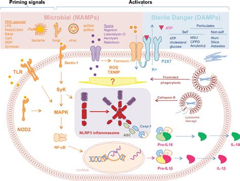 pattern recognition receptors multiple sclerosis nlrp3 inflammasome activation pathways the assembly of