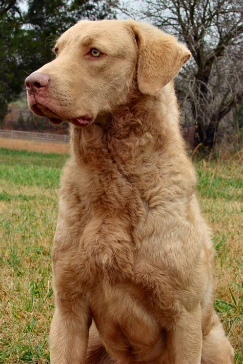 chesapeake bay retriever colors chesapeake bay retriever pictures posters news and