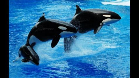 Orcas In Captivity Essay by Killer Whales In Captivity Essay Writer