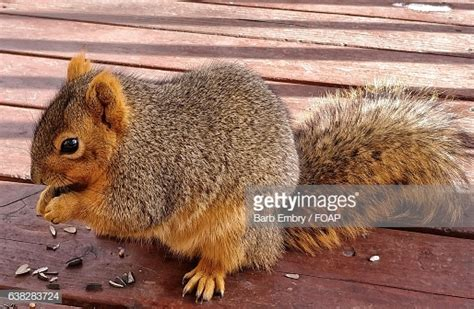 squirrels chewing decks glenwood springs stock photos and pictures getty images
