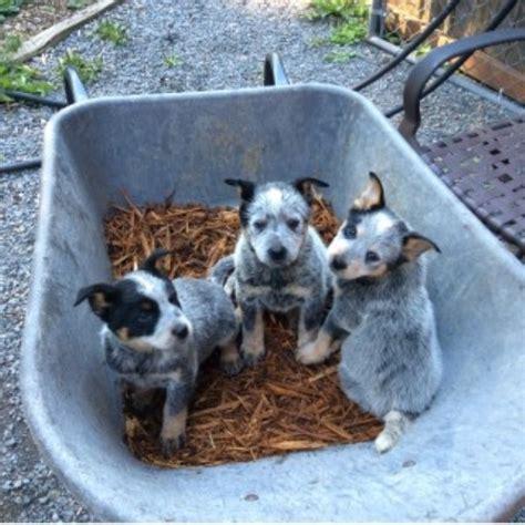 australian cattle colors australian cattle blue heeler heeler puppies