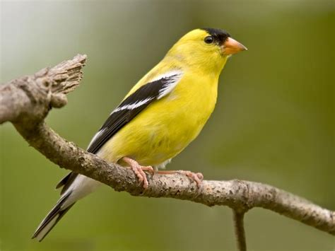 how to identify a goldfinch love birds care